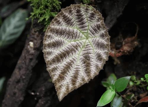 Begonia arachnoidea