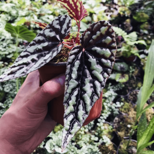 Begonia variabilis