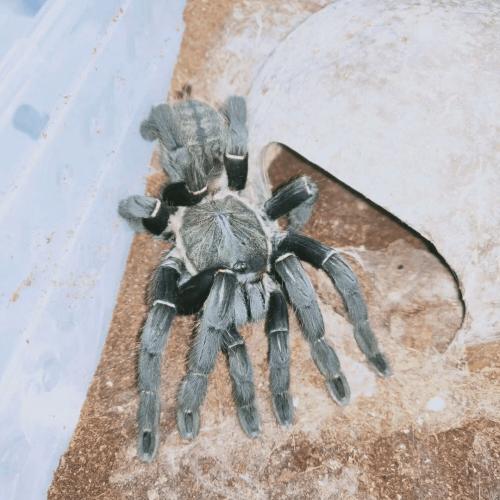 Haplopelma hainanum – Chinese Giant Black Earth Tiger