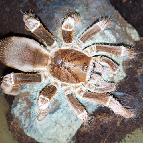 Pelinobius muticus – King Baboon Tarantula