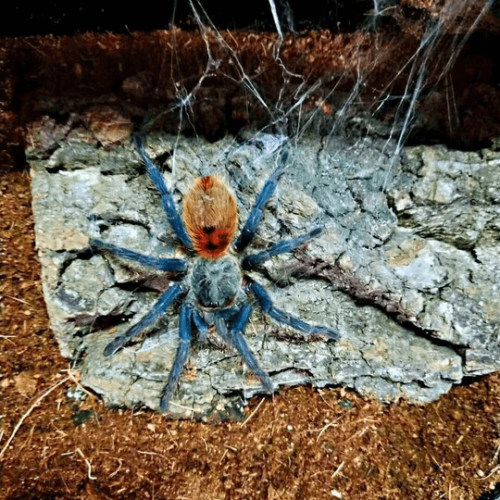 Chromatopelma Cyaneopubescens (Greenbottle Blue Tarantula)