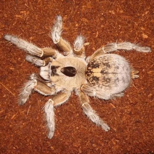 Ceratogyrus brachycephalus (Greater horned baboon tarantula)