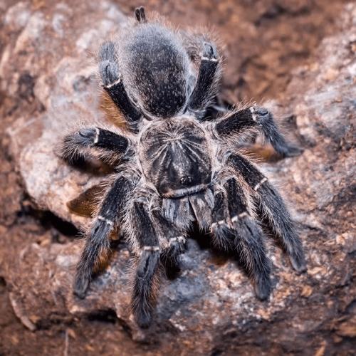 Harpactira namaquensis (Bronze Baboon Tarantula)