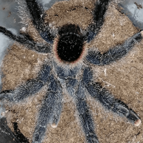 Avicularia sp Amazonas Purple