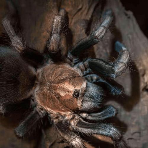 Lasiodorides polycuspulatus (PERUVIAN BLONDE Tarantula)