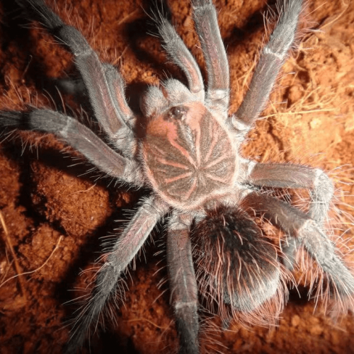 Pamphobeteus platyomma (The Brazilian pink bloom tarantula)