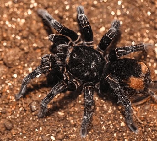 Pamphobeteus antinous Tarantula