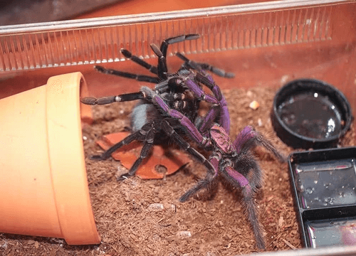 Pamphobeteus sp. nigricolor Tarantula
