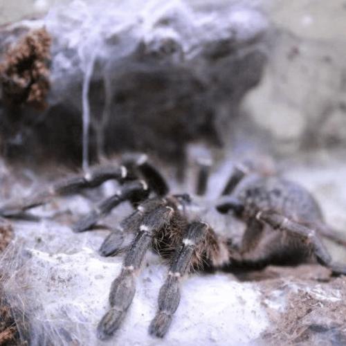 Burst horned baboon tarantula – Ceratogyrus darlingi