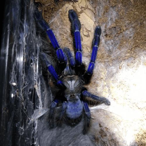 Singapore Blue Tarantula (Lampropelma violaceopes)