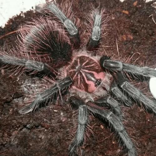 Pamphobeteus machala (Purple Bloom Tarantula)