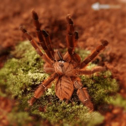 Phormingochilus sp. rufus