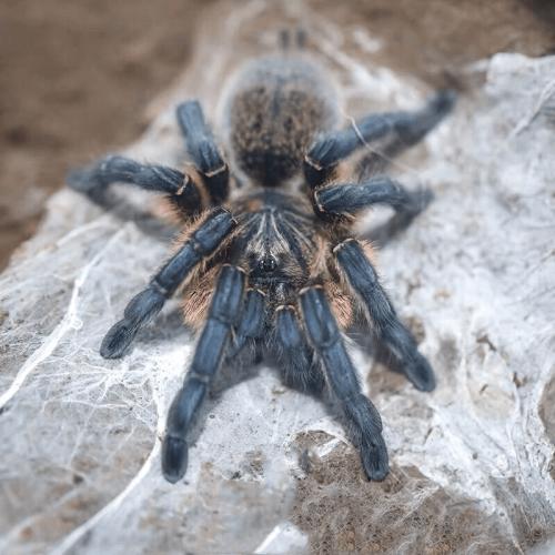 Harpactira pulchripes – Golden Blue Leg Baboon