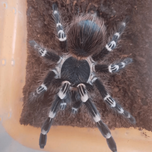 Acanthoscurria Geniculata – Giant White Knee Tarantula