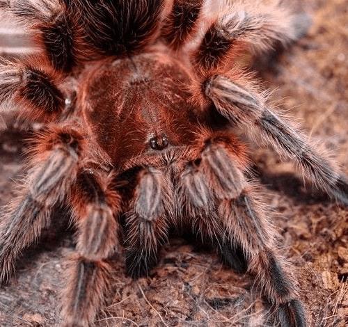 Chilean fire tarantula Chilean Rose Hair Tarantula – Grammostola rosea
