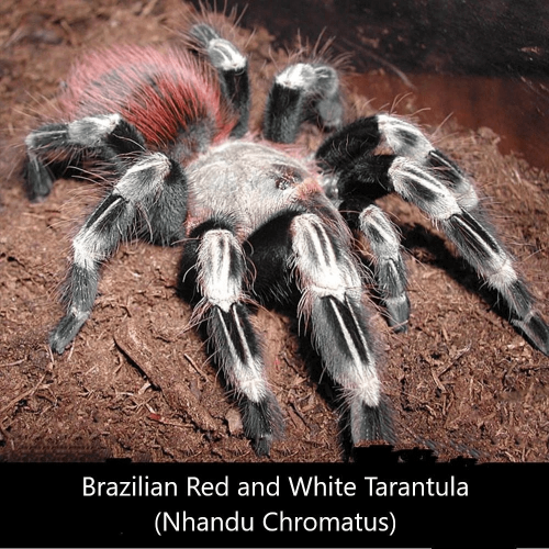 Brazilian Red and White Tarantula (Nhandu Chromatus)