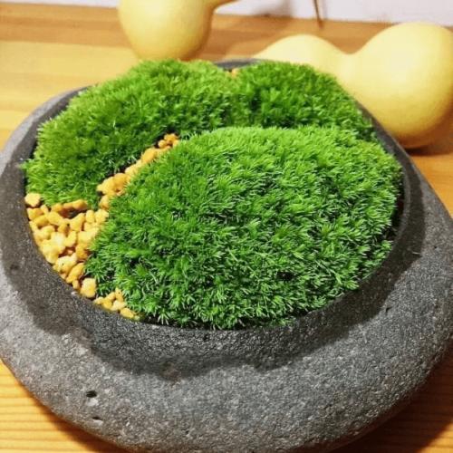 Cushion Moss (Leucobryum Glaucum)