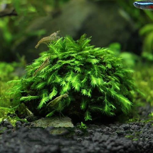 Fissidnes Bryoides Moss