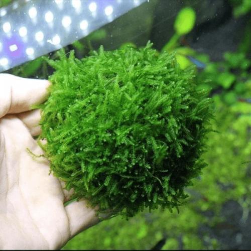 Triangle Moss (Cratonneuron Filicinum)