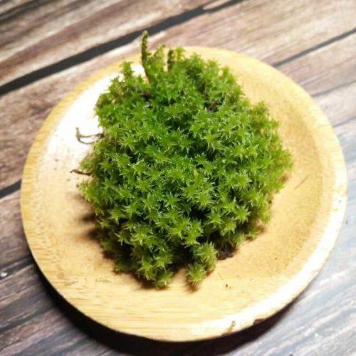 Racomitrium Canescens Moss