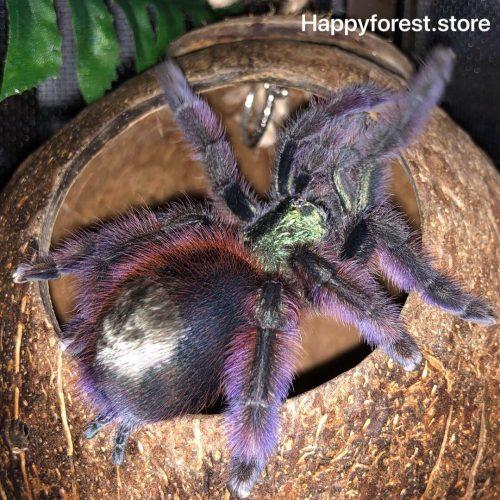 Antilles Pink Toe Tarantula (Caribena Versicolor)