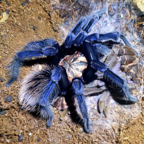 Xenesthis sp Blue Tarantula (Colombian Lesserblack Tarantula)