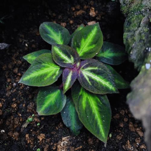Sonerila sp fluo Green veins