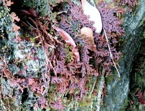 Selaginella Uncinata Spikemoss (Red)
