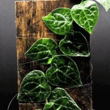 Rhaphidophora X 2 Plants