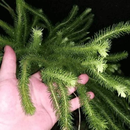Phlegmariurus squarrosus X 2 Plants