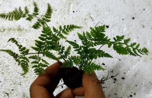 Hypodematium Crenatum