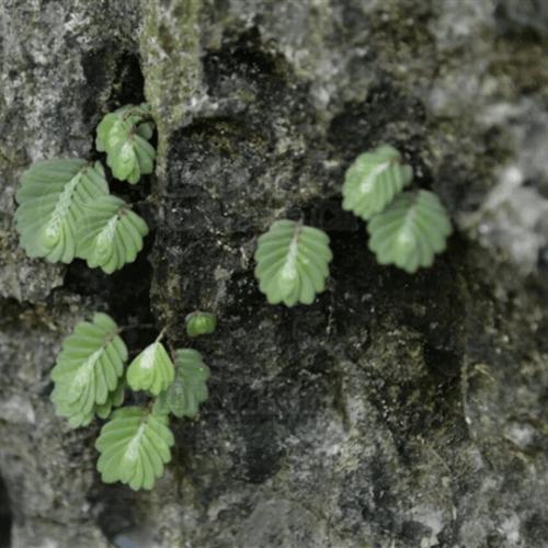 Elatostema Salvinioides