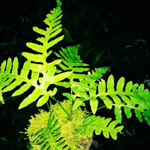 Dictyophyllum sp