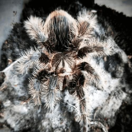 Brachypelma (now Tliltocatl) albopilosum (Nicaraguan Curly Hair Tarantula)
