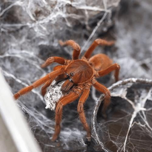 Orphnaecus philippinus (Philippine tangerine tarantula)