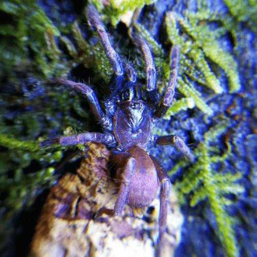Thrigmopoeus psychedelicus (Haploclastus devamatha Tarantula)