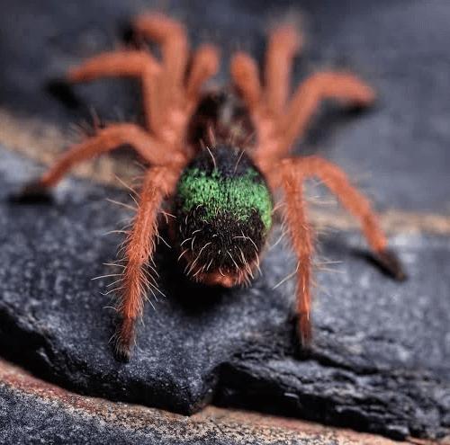 Ephebopus uatuman – Emerald Skeleton Tarantula