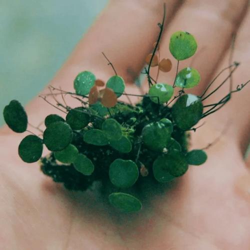 Adiantum Mariesii Fern (micro plant)