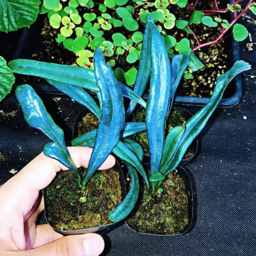 Blue Oil Fern (Microsorum thailandicum Boonkerd & Noot)