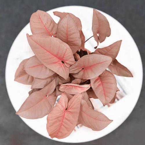 Syngonium podophyllum 'Pink'