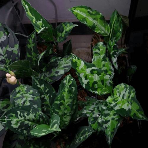 Aglaonema Pictum Tricolor Sumatra (Round Leaf)