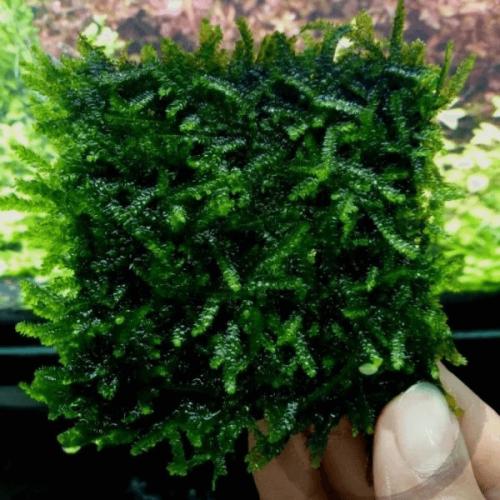 True Weeping Moss (Vesicularia Ferriei)