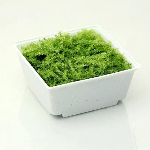 Plagiomnium Acutum Moss