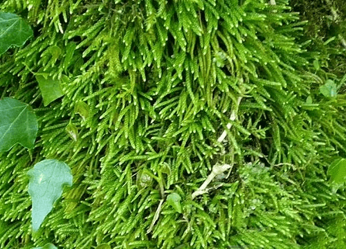 Myuroclada Maximowiczii Moss