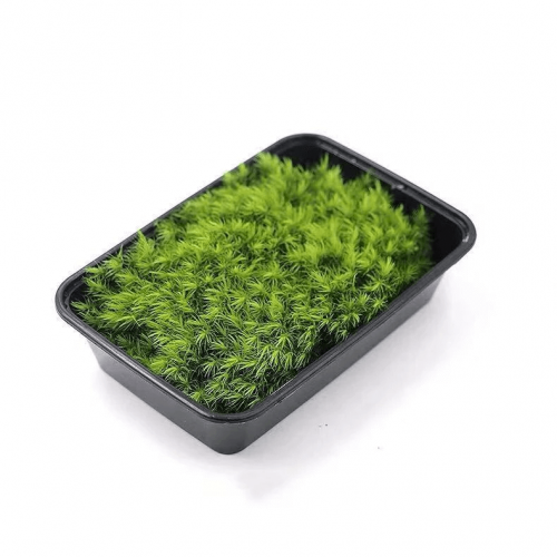 Mood Moss – Dicranum Scoparium