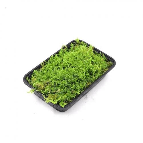 Hypnum Moss – Hypnum Plumaeforme