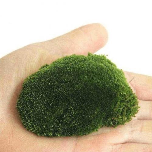 Funaria Hygrometrica Moss