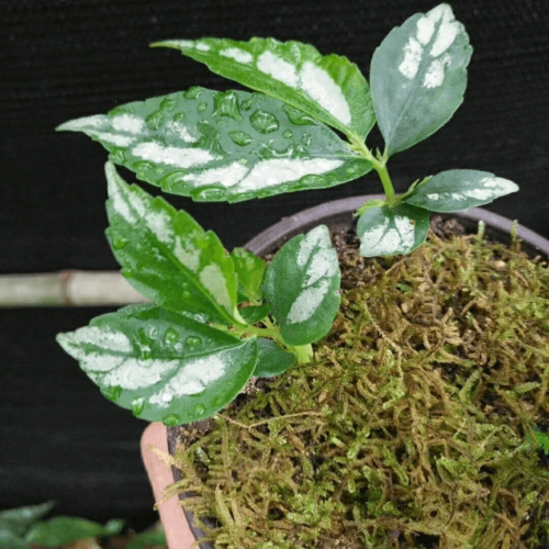 Elatostema sp White Leaf