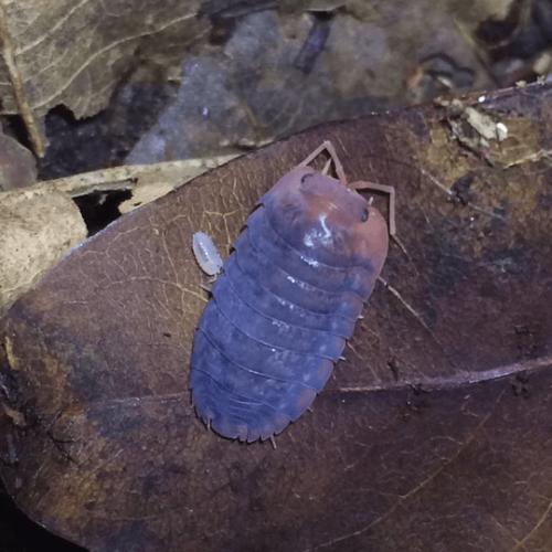 "Merulanella sp. ""Red"" Isopods"