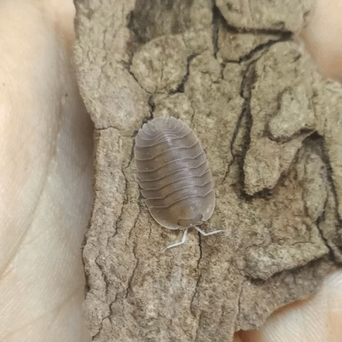 "Cubaris sp. ""Soil"" Isopods"
